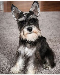 See this Instagram photo by @schnauzer_lovers • 2,975 likes