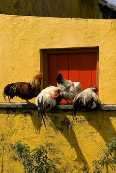 Maybe we're in Italy? Bright wall might indicate such but the chickens are the show-stoppers!