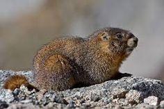 """Résultat de recherche d'images pour """"marmot"""""""