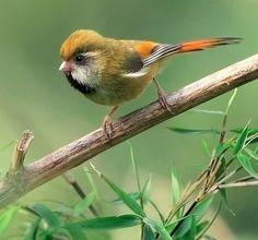 Orange Parrotbill, taken at DaSyueShan, Taichung County, TAIWAN - SYLVIIDAE