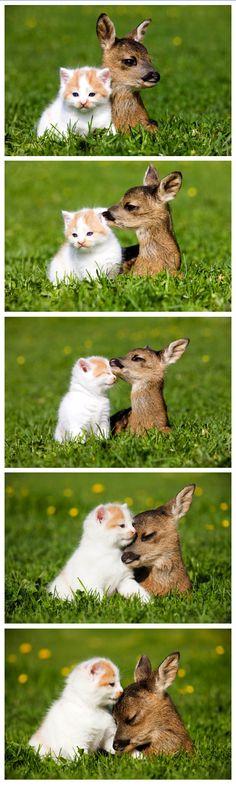 Kitten and fawn friends. #felines #cats #kittens #pets #deer #fawns #animals