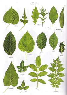 www.ordiecole.com biol feuilles_coniferes_feuillus.html