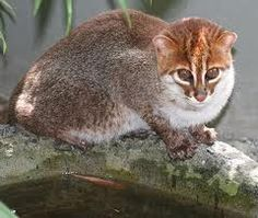 Flat Headed Cat. Flat Headed Cats are going extinct.