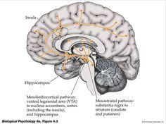 Dopaminergic Pathways: Nigrostriatal System (Substantia Nigra --> Caudate Nucleus & Putamen); Mesolimbic System (Ventral Tegmental --> Limbic); Mesocortical System (Ventral Tegmental --> PFC)
