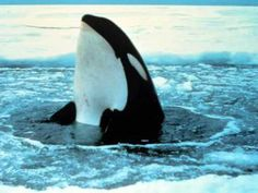 A spyhopping orca. The orca rises partially out the water and holds a position to usually look for potential prey. Orcas, Whale Pictures, Dolphin Facts, Whale Facts, Underwater Sea, Polar Animals, Wale, Killer Whales, Fauna
