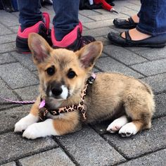 """Excellent """"corgi pups"""" info is readily available on our website. Read more and you wont be sorry you did. Lab Puppies, Cute Puppies, Cute Dogs, English Bulldog Puppies, Corgi Pups, I Love Dogs, Puppy Love, Worlds Cutest Animals, Corgi Names"""