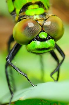 Dragonfly by Hemant Shukla, via Dragonfly Photography, Insect Photography, Cool Insects, Microscopic Photography, Flying Flowers, Wild Eyes, Crazy Eyes, Look Into My Eyes, Creature Feature