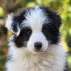 14 Bright Facts About Border Collies – The Paws Border Collie Puppies, Border Collies, Cute Cats And Dogs, Dogs And Puppies, Doggies, Beautiful Dogs, Animals Beautiful, Dog Breath, King Charles Dog