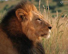 Nessun ideale assoluto farà sì che il leone giaccia con l'agnello a meno che l'agnello non sia dentro di lui. (David Herbert Lawrence)