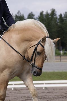 Norwegian Fjord horse, see you can ride them too :)