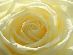 Image uploaded by Lilac SoulHealer. Find images and videos about flower, yellow and rose on We Heart It - the app to get lost in what you love. Pastel Yellow, Mellow Yellow, Yellow Roses, Baby Yellow, Love Rose, Love Flowers, Blooming Flowers, Dali, Cherry Ice Cream