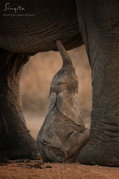 A tender moment of an elephant calf that was deserted and shortly afterwards adopted by another female elephant.| Ross Couper from Singita Sabi Sand