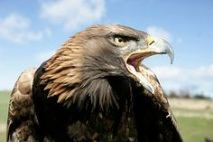 ...  we have eagles in Quebec such as American Bald Eagles and Golden Eagles amongst others, they are seldom seen or spoken about.
