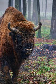 """""""Polish Bison"""" by Mariola Bitner"""