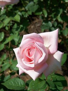Bride's Dream Rose Live Plant Bare Rooted