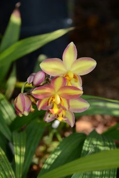 Spathoglottis Joyce StewART | Flickr - © species orchids