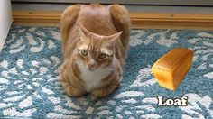 coleandmarmalade When cats looks like bread 🍞  #catloaf #catbread #cats #catsofinstagram #weirdvideo