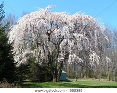 Weeping white cherry tree