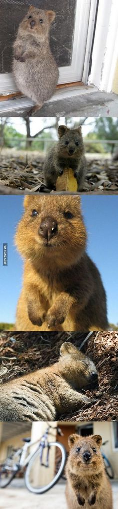 The Quokka, the aww from Australia