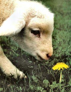 Pride And Joy Baby Animals Tiere Schafe Se Tiere