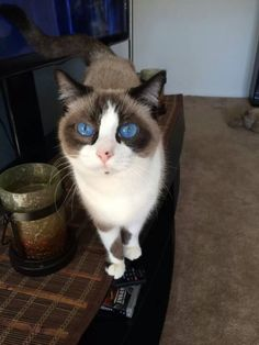 Or this kitty's peepers, which are bluer than the bluest sky. | 21 Stunning Cats Who Have Prettier Eyes Than You