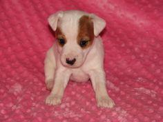 Pin De Tatoniritaa Em Jack Russell Terrier Em 2020 Russel