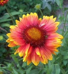 20 Best Native Nebraska Plants Images Plants Nebraska Wild Flowers