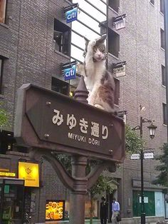 Photo series: Cats and kittens on road signs in the Ginza shopping district in Tokyo, Japan. Click here to see all 11 cat pictures: http://www.traveling-cats.com/2014/02/cats-from-tokyo-japan.html (cats, cat pictures, cat photos, Ginza, Tokyo, Japan, photo series)