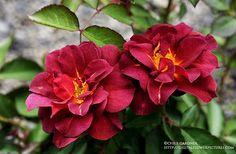 Google Image Result for http://1.bp.blogspot.com/_VAbdC3cvG7g/S-Kd7FHUdJI/AAAAAAAAGi0/e60f_2oY_5Y/s1600/rosecincodemayowebcc.jpg