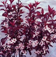 Purple Leaf Plum Sand Cherry Prunus