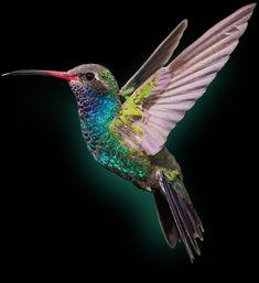 So Beautiful! Pretty Birds, Love Birds, Beautiful Birds, Birds Pics, Hummingbird Pictures, Hummingbird Tattoo, Hummingbird Wallpaper, Exotic Birds, Colorful Birds