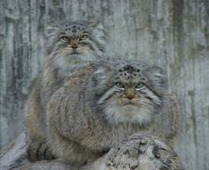 Pallas's cat, not a domestic cat. Pallas cats are solitary animals that share harsh mountainous habitats with snow leopards.
