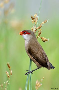 Common Waxbill by kengoh8888, via Flickr. This bird is a member of the estrildid finch family. It is native to sub-Saharan Africa