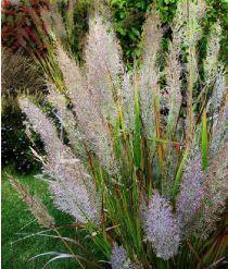 Calamagrostis brachytricha mi-ombre
