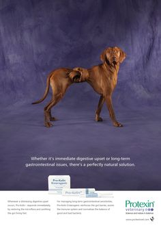 Protexin Veterinary: Twisted Vizsla Whether it's immediate digestive upset or long-term gastrointestinal issues, there's a perfectly natural solution.