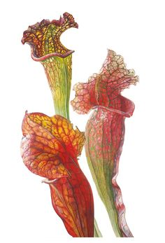 Online galleries of original flower paintings and watercolours by contemporary botanical artist Rosie Sanders. Botanical Flowers, Botanical Prints, Art Floral, Watercolor And Ink, Watercolor Flowers, Illustration Blume, Carnivorous Plants, Botanical Drawings, Floral Illustrations
