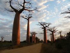 Baobab:  The Upside-Down Tree, grows in low-lying areas in Africa & Australia.