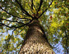 oak-tree-native-lg