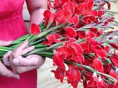 VOM HÜGEL Steiermark Gladiolus, Flower Farm, Save The Date, Flowers, Tips And Tricks, Plants, Creative, Red, Wedding Invitation