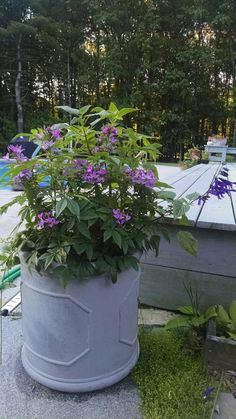 Cleome and Salvia Amistad