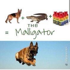 Belgian Malinois, also known as Maligator. This describes Judge perfectly!!