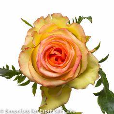 """Ambiance"" orange-yellow-pink bi-color rose"