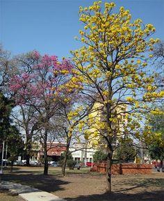 Lapachos de Tucuman
