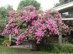 Learn more about Rosa 'William Baffin' (Rose)! Read up on this plant or stop into Sunnyside Gardens in Minneapolis to talk to our experts! Rosa Rose, Coming Up Roses, Cabbage Roses, Climbing Roses, The Great Outdoors, Garden Plants, Outdoor Spaces, Tulips, Planters