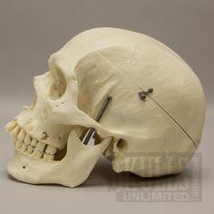 Real Human Skull (Homo sapiens)   WOK-5176
