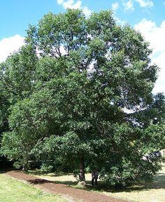 Quercus bicolor  Swamp White Oak