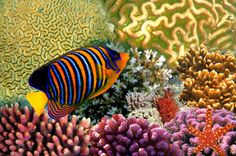 Regal Angelfish and Starfish on a Coral Reef