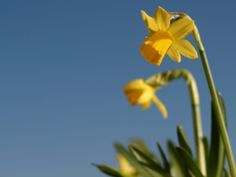 Daffodil from stock.xchng