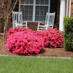 Azalea Vision Of Stair Stepped Border Pink Gumpo