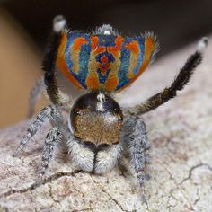"""Maratus clupeatus -- Clupeatus means """"shield bearer,"""" according to Otto, and is a reference to the opisthsomal plate. It has so far only been found in the suburbs of Perth."""